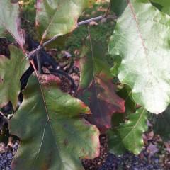 Quercus velutina Oak, Black, #3