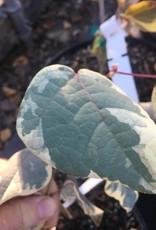 Disanthus cercidifolius Ena Nishiki, Disanthus, #3