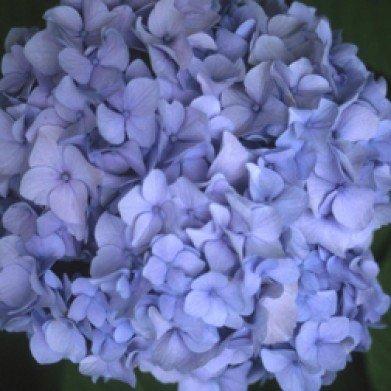 Hydrangea mac. Nikko Blue Hydrangea - Mophead, Nikko Blue, #3