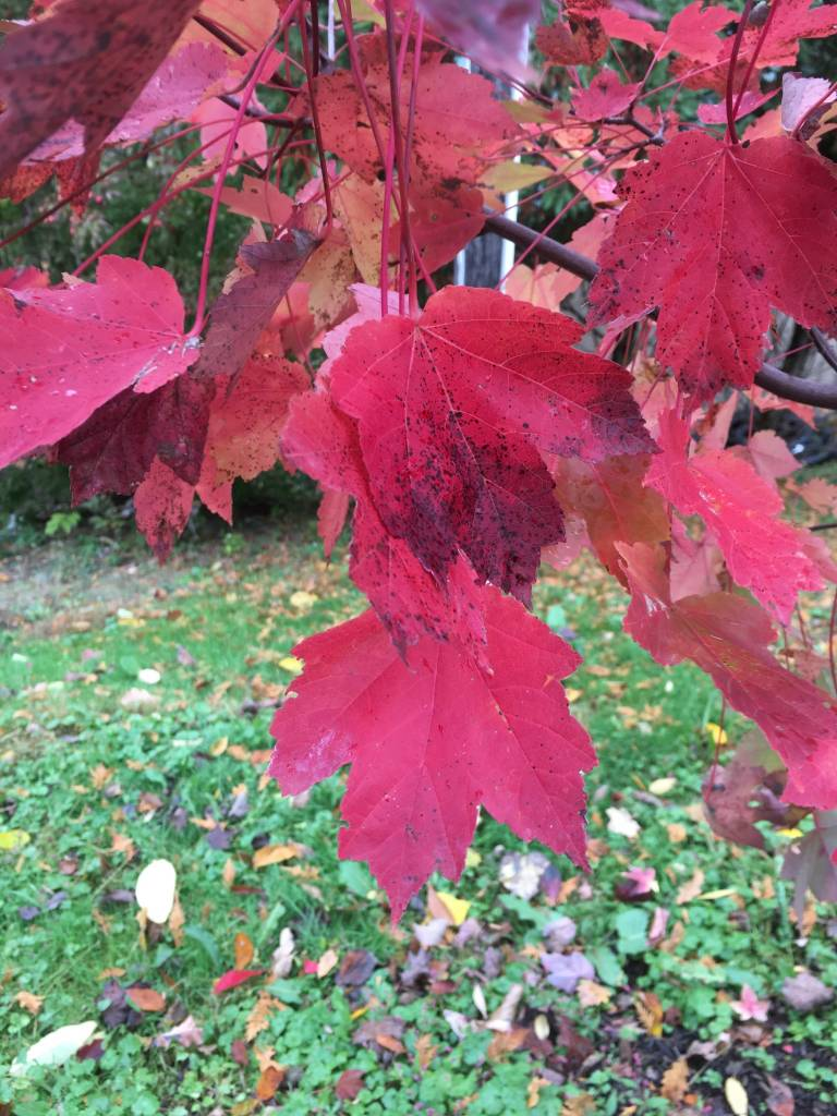 Acer rubrum Maple - Red, #5
