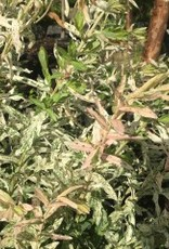 Salix int. Hakuro Nishiki Willow - Dappled, #3