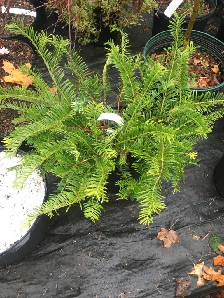 Cephalotaxus har. Prostrata Japanese Plum Yew, Prostrata, #3