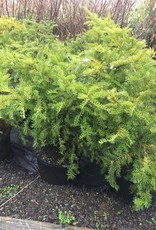 Taxus cuspidata Green Wave Yew - Japanese, Green Wave, #3