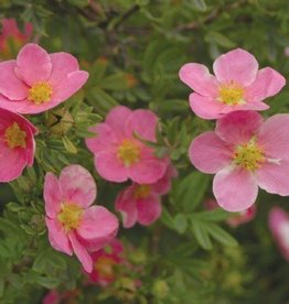 Potentilla frut. Pink Beauty Bush Cinquefoil, Pink Beauty, #3