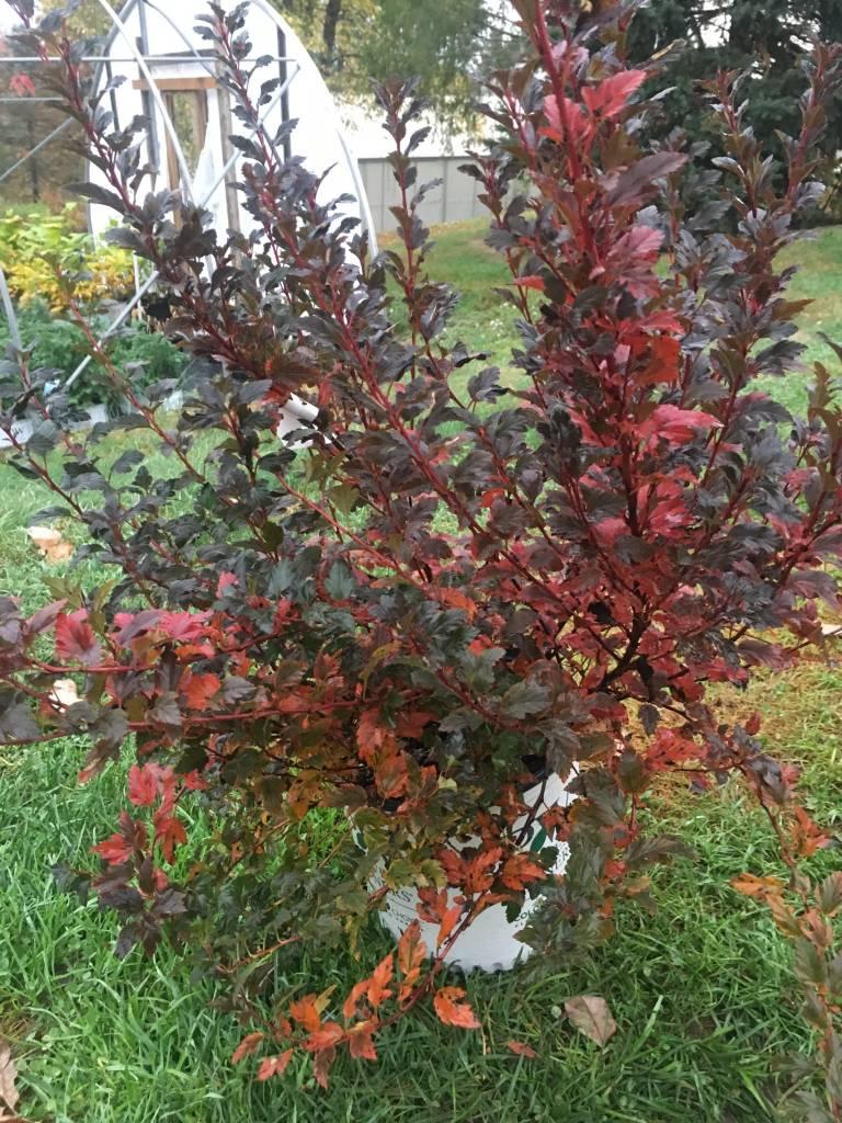 Physocarpus opul. Seward Ninebark, Summerwine, #5