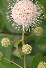 Cephalanthus occ. Sputnik Buttonbush, Sputnik, #5