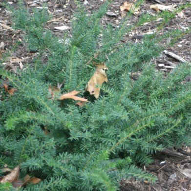 Taxus x media Everlow Yew - English-Japanese, Everlow, #3