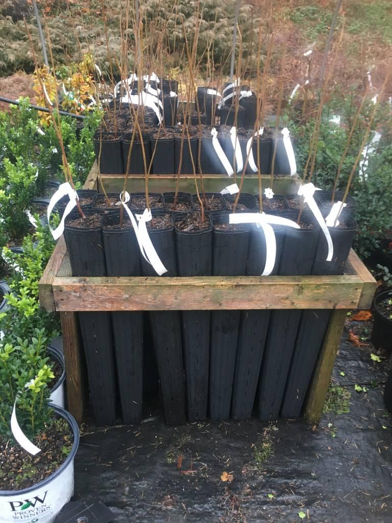 Juglans cinerea Walnut - White or Butternut, Deep root pot