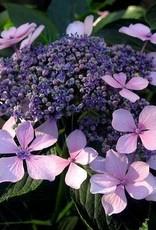 Hydrangea mac. Claudie Hydrangea - Mophead, Claudie, #3
