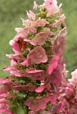 Nativar Shrub Hydrangea querc. Ruby Slippers Hydrangea - Oakleaf, Ruby Slippers, #3