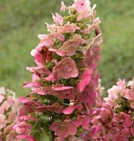 Hydrangea querc. Ruby Slippers Hydrangea - Oakleaf, Ruby Slippers, #3