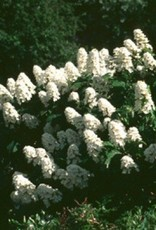 Hydrangea querc. Snow Queen Hydrangea - Oakleaf, Snow Queen, #3