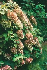Hydrangea querc. Snowflake Hydrangea - Oakleaf, Snowflake, #3