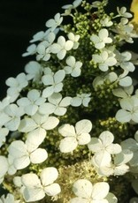 Nativar Shrub Hydrangea querc. Pee Wee Hydrangea - Oakleaf, Pee Wee, #3