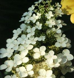Hydrangea querc. Pee Wee Hydrangea - Oakleaf, Pee Wee, #3