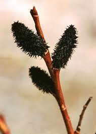 Salix grac. Melanostachys Pussy Willow - Black, #3
