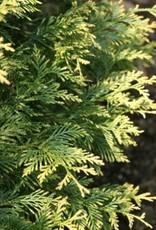 Thuja plic. Zebrina Extra Gold Arborvitae - Western, Zebrina Extra Gold, #3