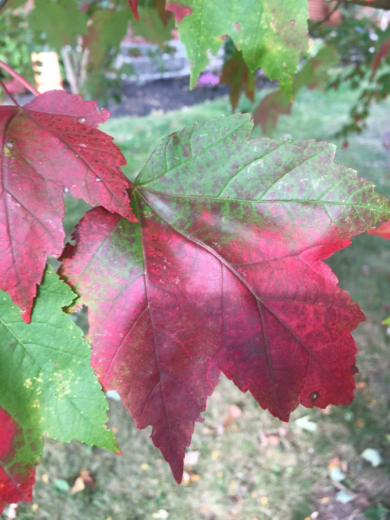 Acer rubrum Franksred Maple - Red, Red Sunset, #15