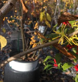 Hamamelis virginiana Witch-hazel, Common, #3