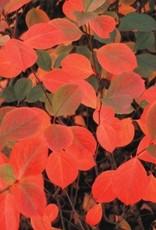 Aronia mel. Autumn Magic Chokeberry, Autumn Magic, #3