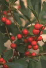 Ilex vert. Red Sprite Holly - Winterberry, Red Sprite, #3