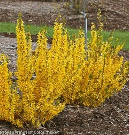 Forsythia x inter. Mindor Forsythia, Show Off, #5