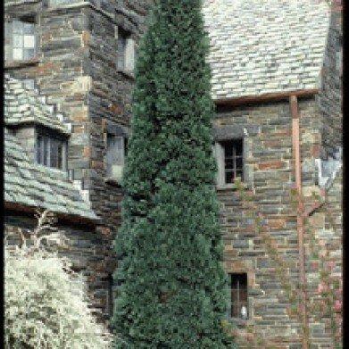 Chamaecyparis law. Oregon Blue False Cypress, Oregon Blue, #3