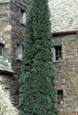 Chamaecyparis law. Oregon Blue False Cypress, Oregon Blue, #7