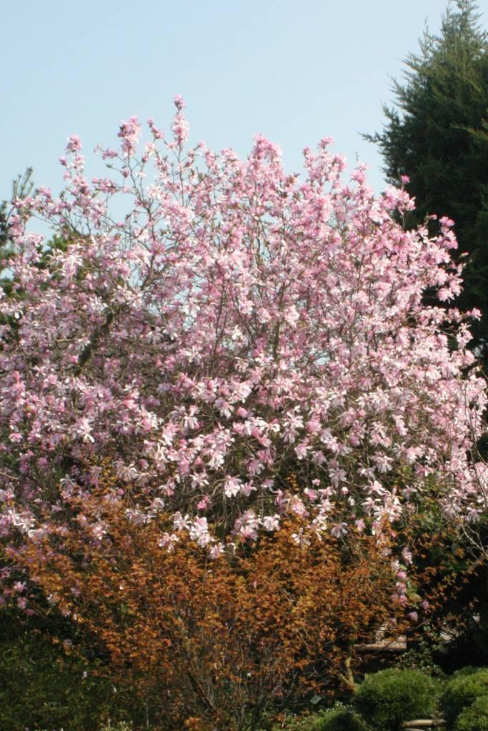Magnolia x loeb. Leonard Messel Magnolia - Loebner, Leonard Messel, #5