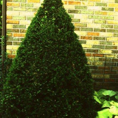 Taxus cuspidata Fastigiate Yew - Japanese, Captain, #3