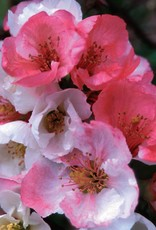 Chaenomeles Toyo Nishiki Quince, Toyo Nishiki Flowering, #3