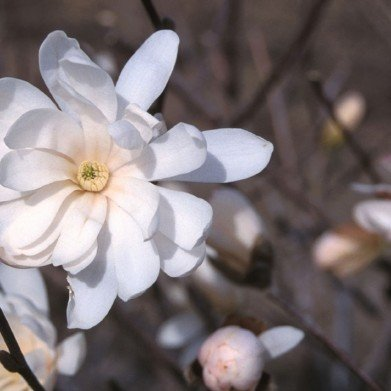 Magnolia stellata Royal Star Magnolia - Star, Royal Star, #3