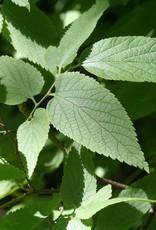 Celtis occidentalis Hackberry, #3