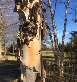 Betula nigra Birch - River, #3