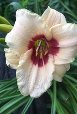 Hemerocallis Custard Candy Daylily, Custard Candy, #1