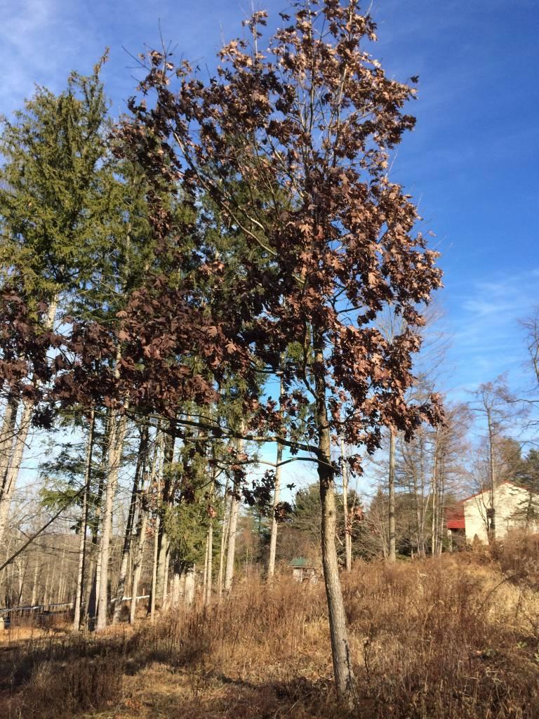 Quercus alba Oak, White, #3