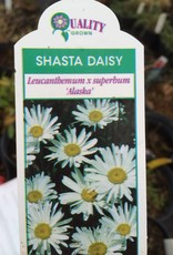 Leucanthemum Alaska, Daisy - Shasta #1