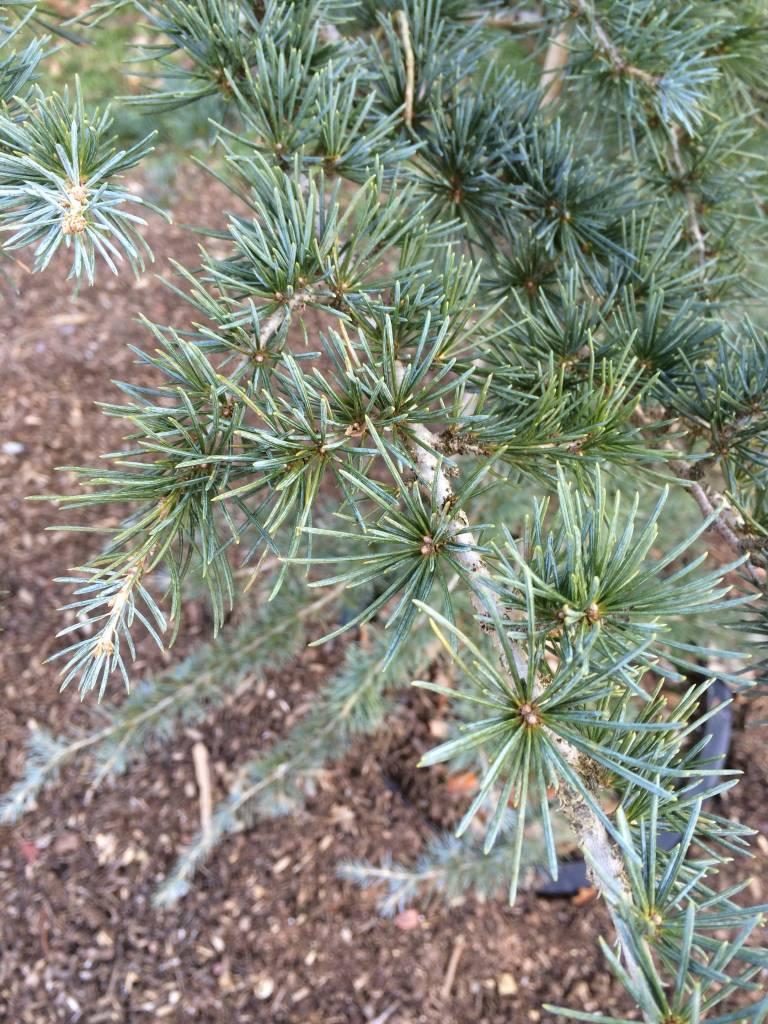 Cedrus atlantica Glauca Cedar - Blue Atlas, #10