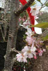 Prunus sub. Autumnalis Cherry - Higan, Autumn Flowering, #15