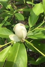 Magnolia virginiana Henry Hicks Magnolia - Sweetbay, Henry Hicks, #3