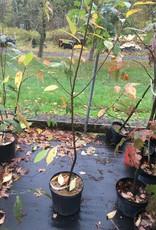Prunus serotina Cherry - Black, #3