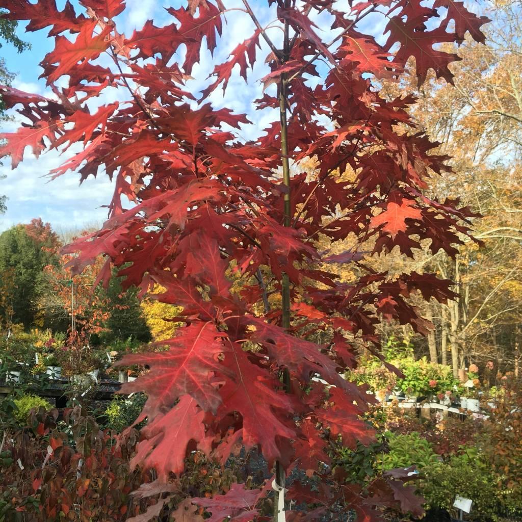 Quercus rubra Oak, Red, #5