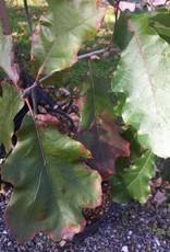 Quercus velutina Oak, Black, #5
