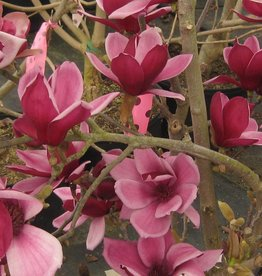 Magnolia x March till Frost Magnolia - Hybrid, March till Frost, #7