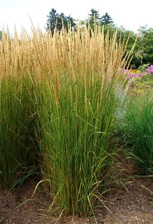 Calamagrostis karl foerster grass ornamental feather for Tall feather grass