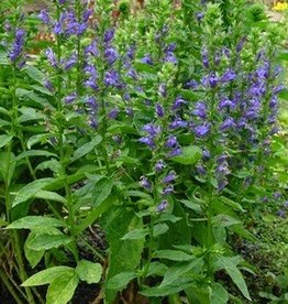 Lobelia siphilitica Cardinal Flower, Great Blue, #1