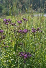 Vernonia noveboracensis Ironweed - New York, #1