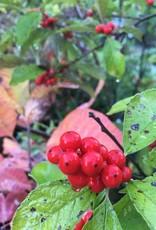 Ilex vert. Spravy Holly- Winterberry, Berry Heavy #3