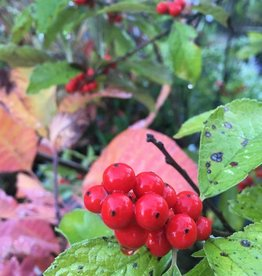Native Shrub Ilex vert. Holly - Winterberry, #3