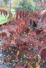 Viburnum p.t. Shasta Viburnum - Doublefile, Shasta, #3